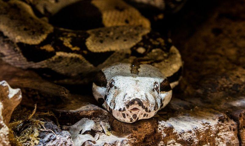 anaconda HEWAN TERKUAT DI DUNIA