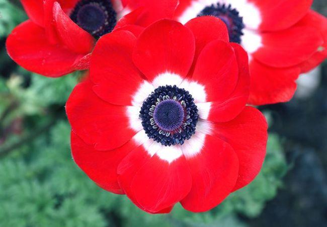 bunga Windflower