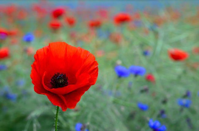 Gambar cantik dan indah Bunga Poppy